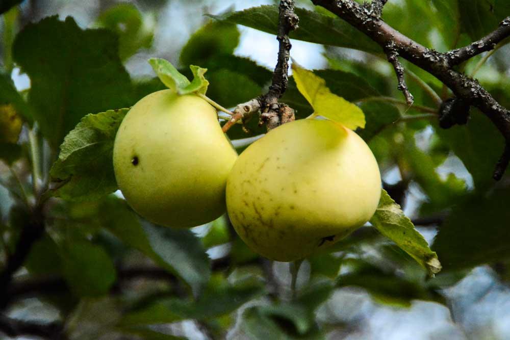Malus sieversii apple © Dr Gayle Volk USDA