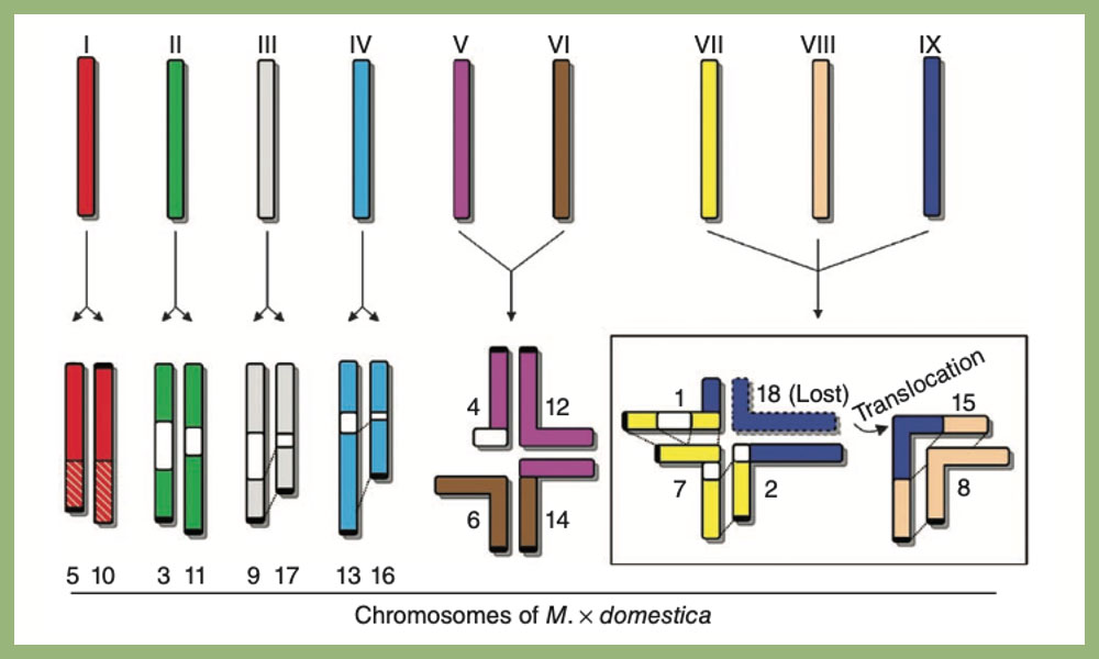 A model explaining the evolution from a 9-chromosome ancestor to the 17-chromosome karyotype of Malus domestica. From Velasco et al (2010) The genome of the domesticated apple in Nature Genetic republished with permission from Springer Nature © and Copyright Clearance Center.