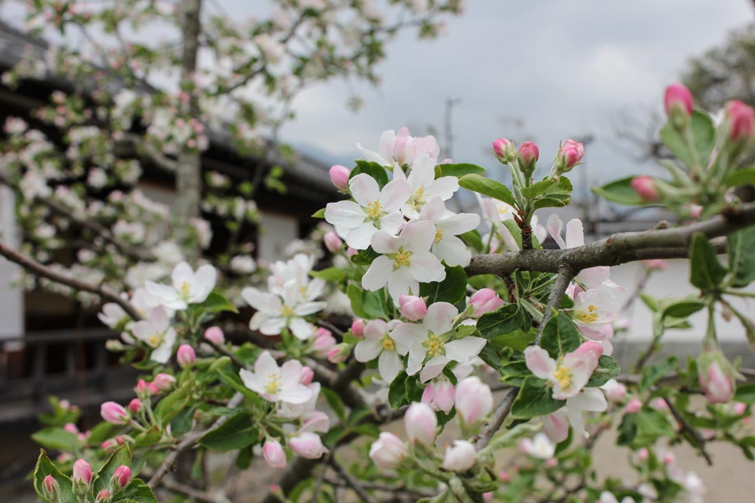 TOSON MUSEUM WITH APPLE BLOSSOM