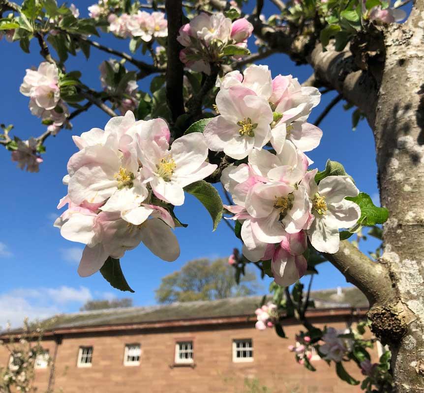 Blossom at NT Berrington Hall 2021