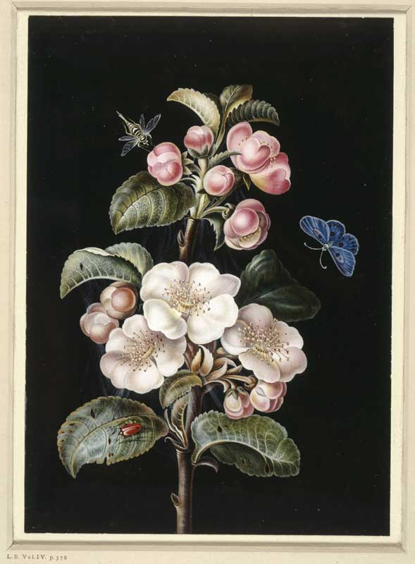 Unknown (poss Barbara or Margareta Dietzsch) - A sprig of apple blossom with various insects c1700s © The British Museum