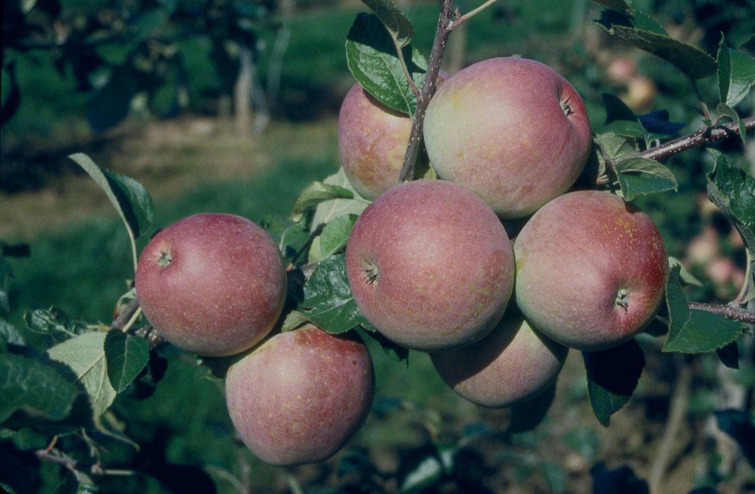 Fuji Apples © Frank Matthews