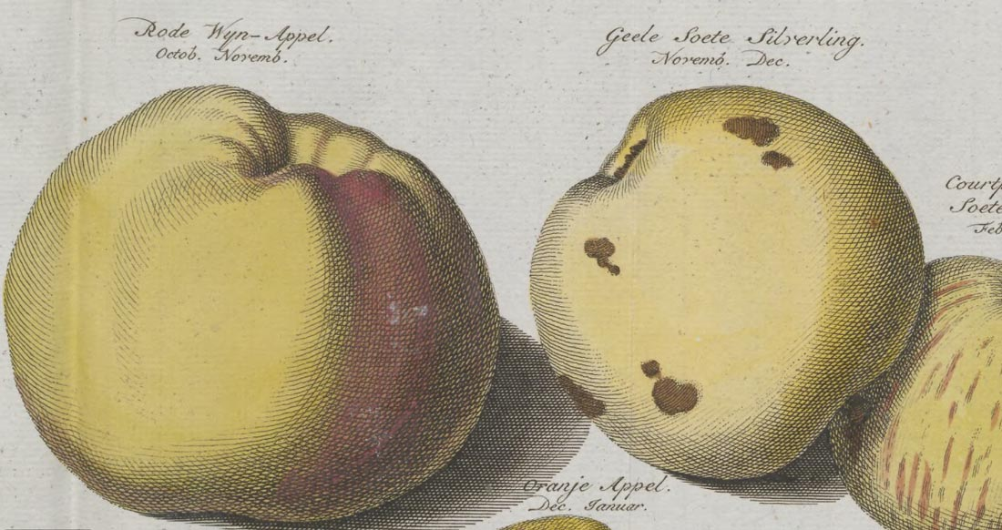 Wijnappel detail from Johann Knoop - Pomologia 1758 with permission from Utrecht University Library