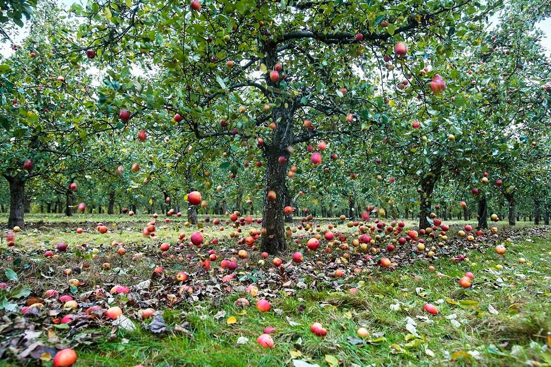 Falling apples © Bill Bradshaw billbradshaw.co.uk