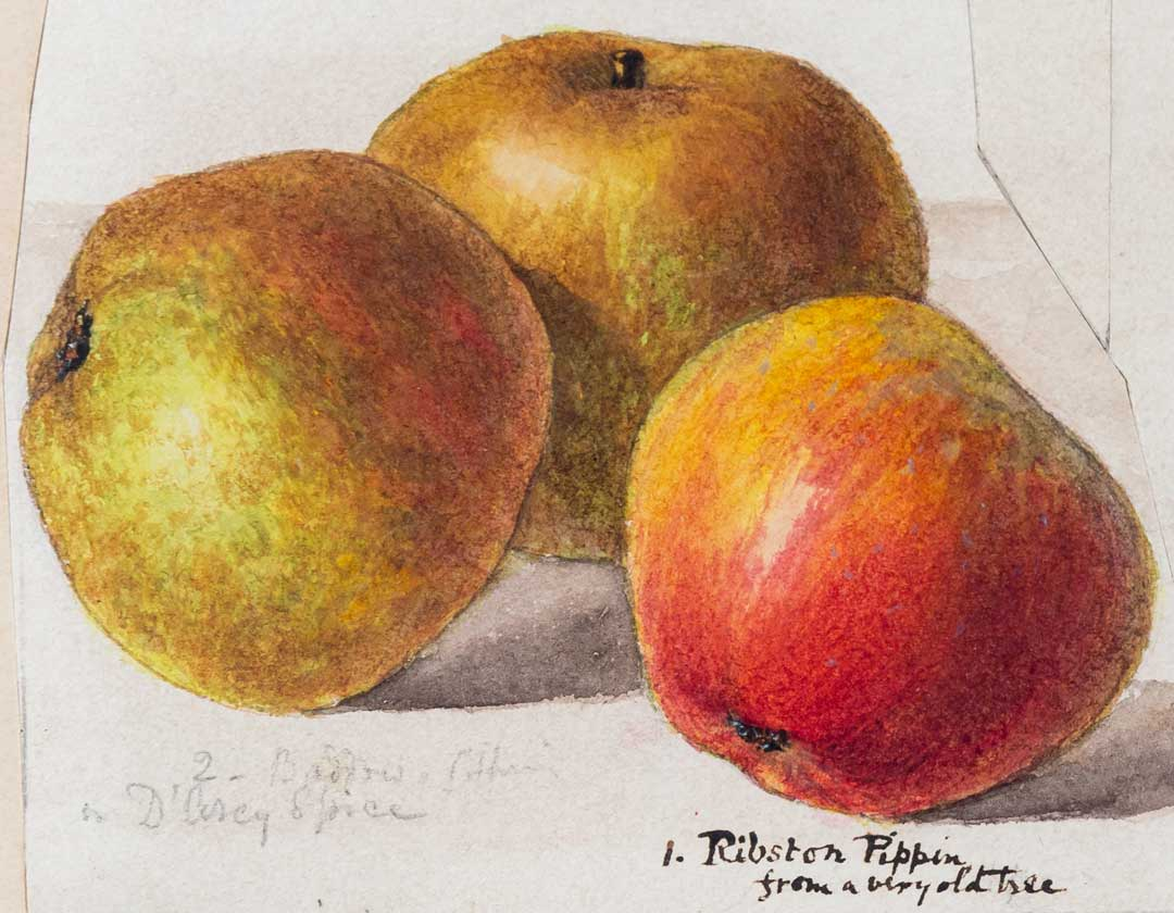Detail from the Herefordshire Pomona watercolours on display at the Museum of Cider in Hereford, which are on loan from H P Bulmer Limited Photograph by Paul Ligas
