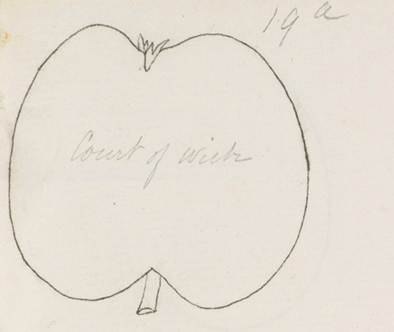 From Dr Hogg's notebook of tracings that he gave to Rev Bulmer (detail) © RHS Lindley Collections